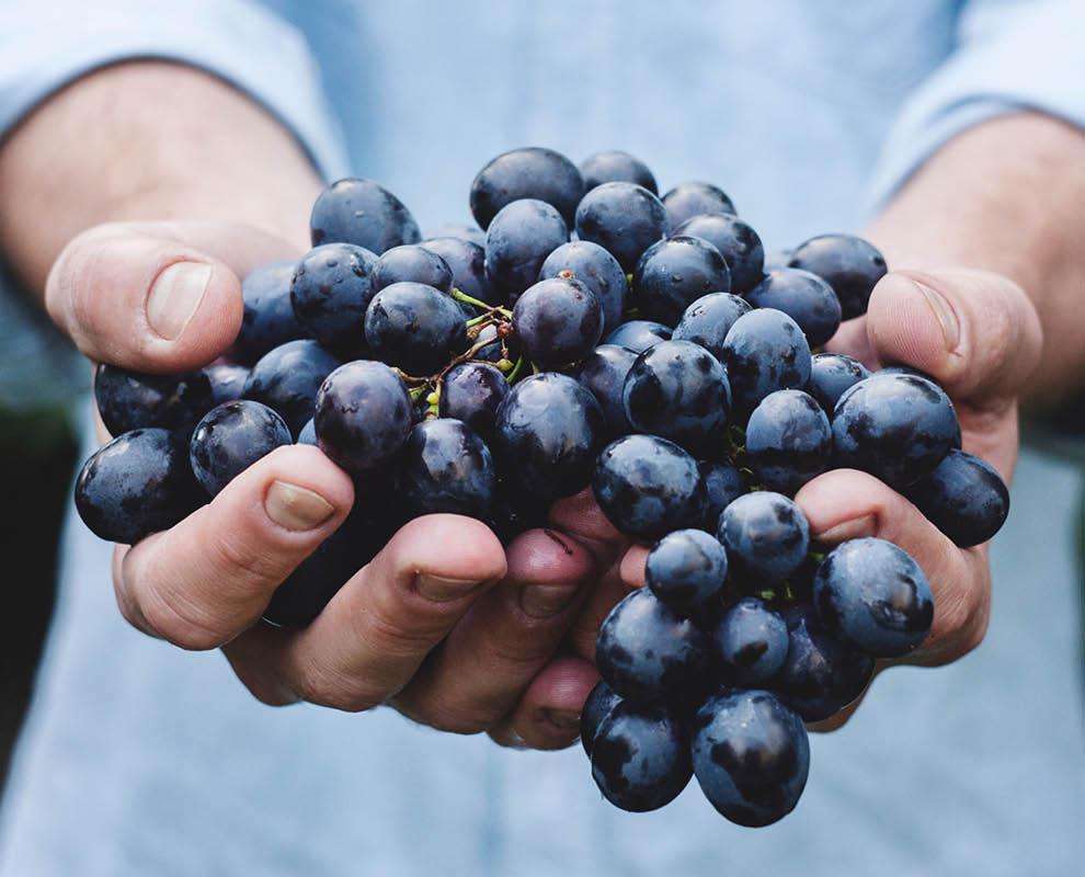 foto van een tros druiven in de hand